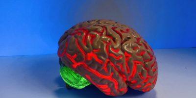 Replica of a human brain.